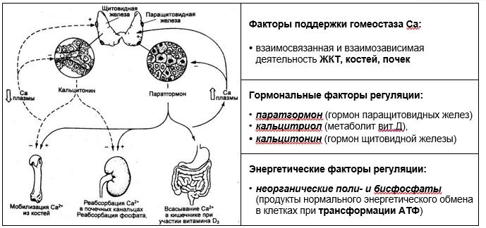 гомеостаз кальция