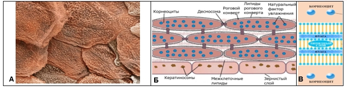 проникновение веществ через кожу