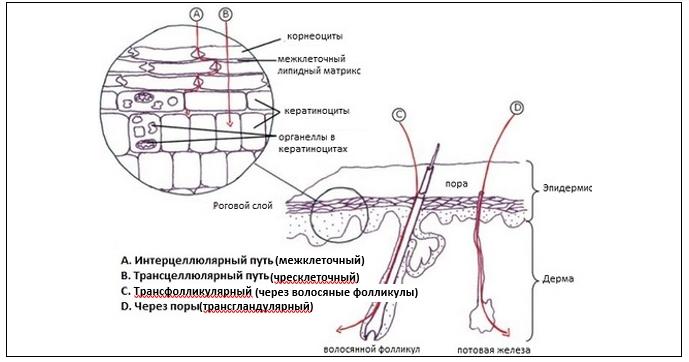 проникновение веществ через эпидермис