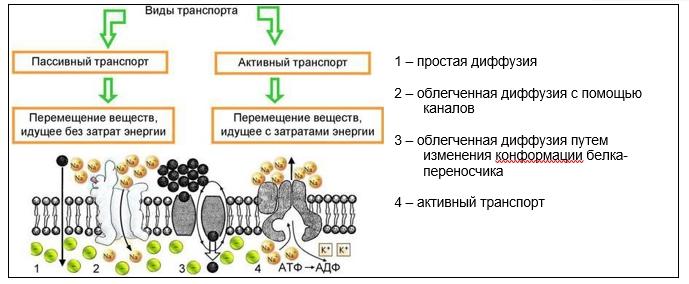 транспорт веществ в коже